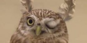… transformed into a co-Kinme horned owl!