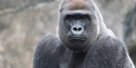Gorilla like a younger sister came back from overseas to 1 years in-Ya Uzzah but