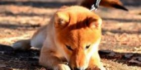 """Petshop """"Shiba Inu is OK even for novices"""" Dog Enthusiast """"Shiba Inu is no problem for beginners"""""""