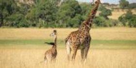"Giraffe ""Food stuffed"" Stupid ""I came in the window at the window w Closed window w"""