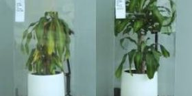 The difference between the plant that praised for a month and the plant that continued bullying is clear