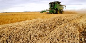 Japan suspends sale of Canadian wheat after GMO wheat found in Alberta – Asahi Shimbun