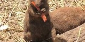 【Video】 When I saw the ginseng eaten by prairie dogs another guy came from the side and appealed w