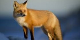 [Image] Composition of the fox who is pleased that the keeper came comes on a screen like a picture www