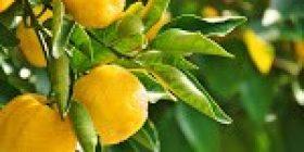 Yuzu is Britain's in-vogue citrus fruit – The Japan Times