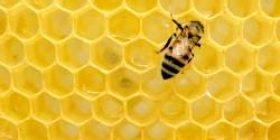 【Sad news】 The world's largest bee is discovered